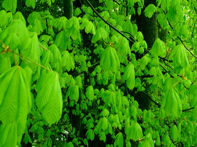 Common Horse Chestnut leaves
