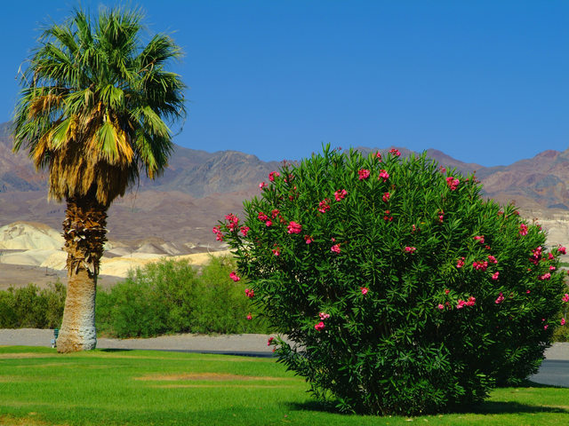 Alberi di Furnace Creek