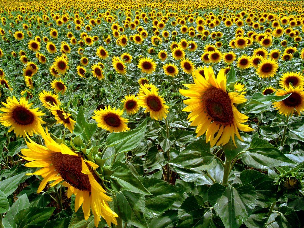 http://www.edenpics.com/pictures/005/en/1024/Edenpics-com_005-044-Field-of-sunflowers-Switzerland-Vaud-Penthaz.jpg