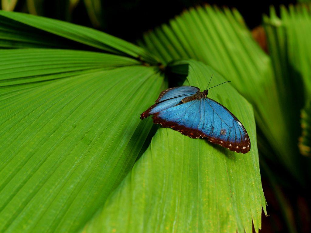 http://www.edenpics.com/pictures/005/en/1024/Edenpics-com_005-053-Blue-Morpho-butterfly-resting-on-a-leaf-Morpho-peleides-Switzerland-Fribourg.jpg