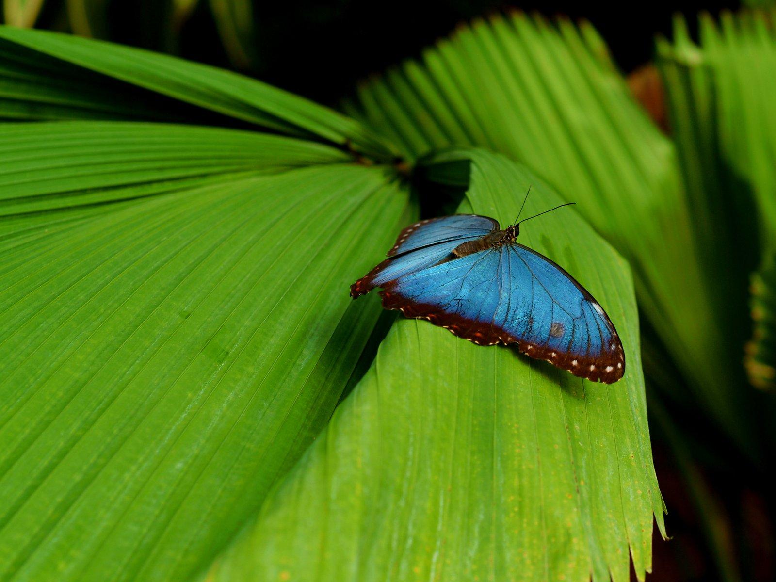 Je voudrais.... Edenpics-com_005-053-Papillon-Morpho-bleu-se-reposant-sur-une-feuille-Morpho-peleides-Suisse